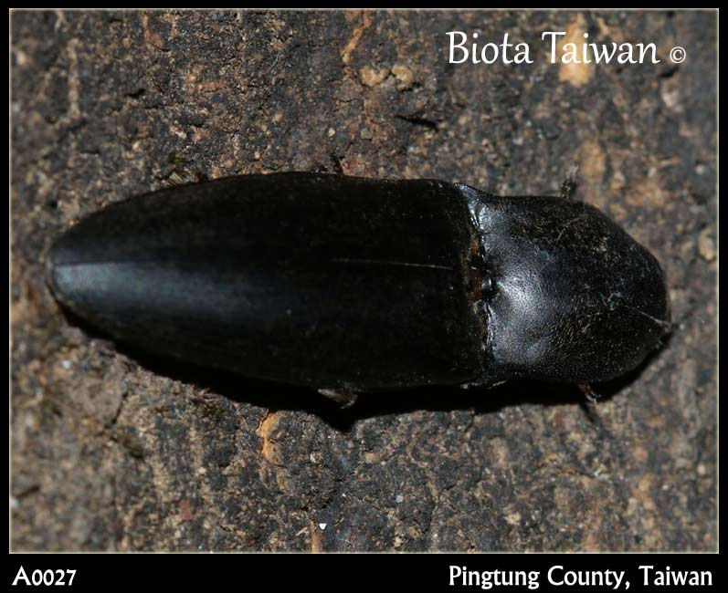 Click Beetle, Pingtung County