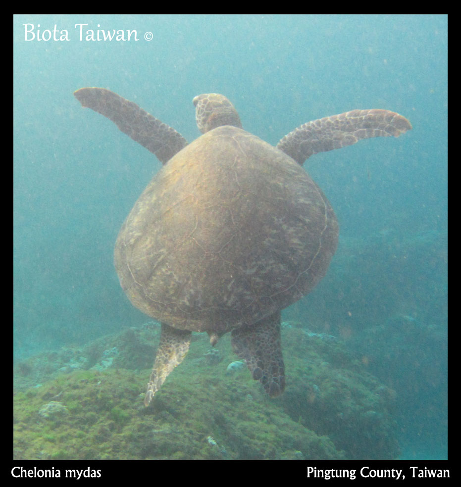 Chelonia mydas - Turtles of Taiwan