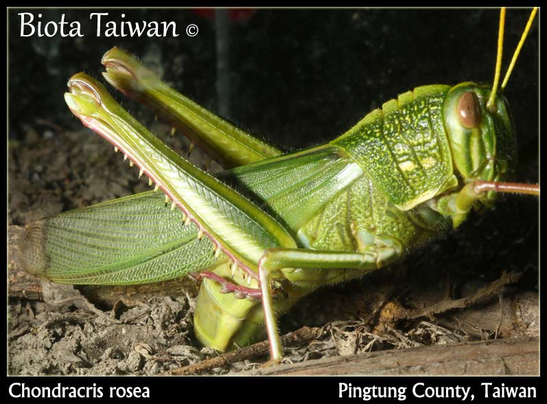 Chondracris rosea - Insects of Taiwan