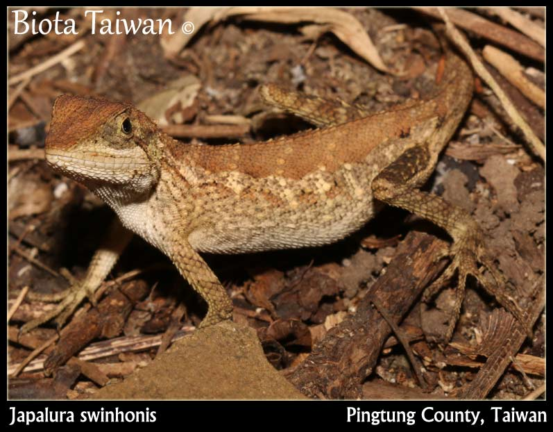 Japalura swinhonis - Lizards of Taiwan